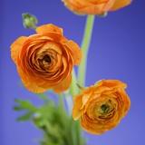 Orange Ranunculus Flowers Fotografisk trykk av Clive Nichols