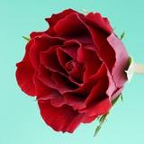 Red Rose with Wavy Petals Fotografisk tryk af Clive Nichols