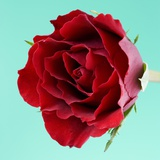 Red Rose with Wavy Petals Fotografisk trykk av Clive Nichols