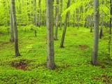 Beech Forest Fotografie-Druck von Frank Krahmer