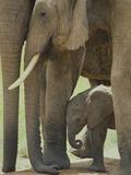 Elephant Adults with Young Elephant Calf Lámina fotográfica
