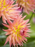 Dahlia 'Karma Sangria' in Bloom Fotoprint av Mark Bolton