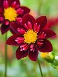 Dahlia Flower Fotografisk trykk av Clive Nichols