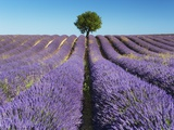 Lavender Field and Almond Tree in Provence Fotografie-Druck von Frank Krahmer