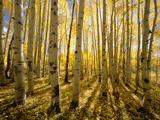 Aspen Trees in Autumn Fotografisk trykk av John Eastcott & Yva Momatiuk