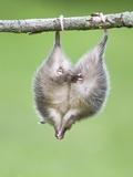 Baby Opossum Hanging from Branch Fotografie-Druck von Frank Lukasseck