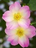 Rosa 'The Alexandra Rose' Fotoprint av Mark Bolton