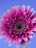 Pink Gerbera Daisy Trykk på strukket lerret av Clive Nichols