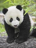 Baby Giant Panda Lámina fotográfica por Frank Lukasseck