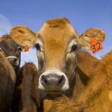 Young Calves in Pasture in New Zealand Stampa fotografica di John Eastcott & Yva Momatiuk