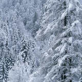 Snow Covered Trees in Forest Photographic Print by Micha Pawlitzki