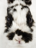 Face of Jersey Wooly Rabbit Photographic Print by Martin Harvey