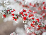 Frost-Covered Berries Fotografie-Druck von Craig Tuttle