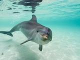 Grand dauphin Reproduction photographique par Stuart Westmorland