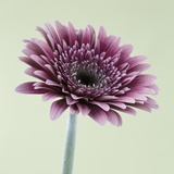 Pink Gerbera Daisy Photographic Print by Clive Nichols