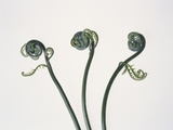 Three Fern Stems Photographic Print by Fujio Nakahashi