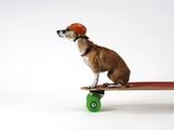 Chihuahua on a Skateboard Premium fotografisk trykk av Chris Rogers