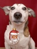 Jack Russell Terrier Holding Christmas Ornament Photographic Print by Ursula Klawitter