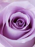 Light Purple Rose Trykk på strukket lerret av Clive Nichols