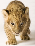 Lion Cub Photographic Print by Martin Harvey