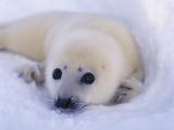 Newborn Harp Seal Fotografisk tryk af Staffan Widstrand