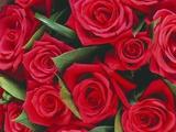 Bouquet of Red Roses Trykk på strukket lerret av Clive Nichols