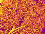 Blood Vessel Cast from Rat Pancreas Fotografie-Druck von  Micro Discovery