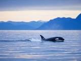 Orca or Killer Whale in Frederick Sound Photographic Print by Paul Souders
