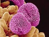 Geranium Pollen Fotografie-Druck von  Micro Discovery