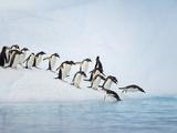 Gentoo Penguins Jumping Off Iceberg into Gerlache Strait Fotografie-Druck von John Eastcott & Yva Momatiuk
