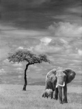 Adult African Elephant with Calf Reproduction photographique