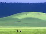 Wildebeest on Grassland in Ngorongoro Crater Fotografisk tryk af Tibor Bognár