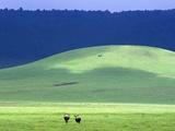 Wildebeest on Grassland in Ngorongoro Crater Fotoprint van Tibor Bognár