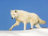 Arctic Wolf Against Blue Sky Fotoprint van Frank Lukasseck