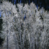 Cottonwood trees in winter Photographic Print by Micha Pawlitzki