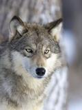 Gray Wolf Fotografisk tryk af Frank Lukasseck