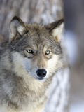 Grauer Wolf Fotografie-Druck von Frank Lukasseck