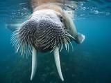 Adult Male Walrus, Lagoya, Svalbard, Norway Fotografisk tryk af Paul Souders