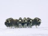 Adult Bull Muskoxen (Ovibos Moschatus) in Defensive Line. Banks Island, Northwest Territories, Arct Stampa fotografica di Wayne Lynch