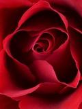 Close-up View of Red Rose Fotografisk trykk av Clive Nichols
