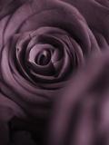 Deep Purple Rose Fotografisk trykk av Clive Nichols