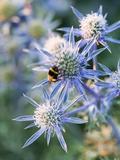 Eryngium BOURGATII 'PICOS BLUE' Fotografisk trykk av Clive Nichols