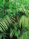 Tiger Hiding in Foliage Fotografie-Druck