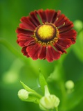 Helenium dunkelpracht Photographic Print by Clive Nichols