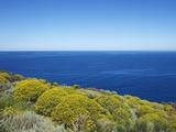 Tree spurge on Stromboli Island Valokuvavedos tekijänä Frank Krahmer
