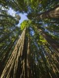 Redwood forest in Humboldt Redwood State Park Fotografisk tryk af John Eastcott & Yva Momatiuk