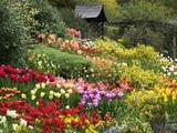 Tulips at Little Larford Trykk på strukket lerret av Clive Nichols