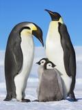 Emperor penguins with chicks Fotografisk tryk af Frank Krahmer