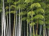 Bamboo Forest in Sagano Fotografisk trykk av Rudy Sulgan