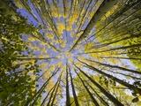 Golden Aspen Trees Seen From Below Stampa fotografica di John Eastcott & Yva Momatiuk